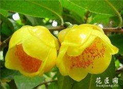 山茶花的栽培方式