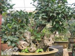 桂花盆景制作方法