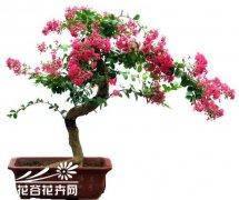 紫薇盆景的养护管理方法