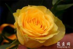 玫瑰花的栽培技术