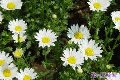 白晶菊花语是什么?