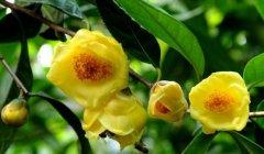 金花茶种植方法大全