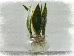 种植技术:水培虎皮兰方法