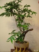 盆栽竹柏的养殖方法