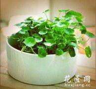 盆栽铜钱草的养殖方法和注意事项