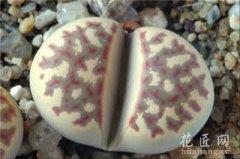 生石花图片欣赏