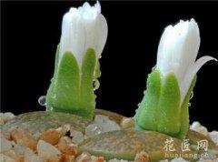 盆栽生石花图片欣赏