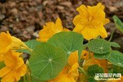 旱金莲的作用有什么装饰作用?