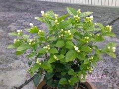 盆栽茉莉叶子发黄不开花是什么原因?