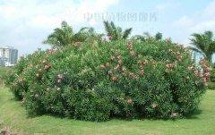 夹竹桃的繁殖方法有哪些?