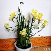 香雪兰盆栽的养殖方法和注意事项