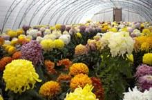 菊花的种植方法分享