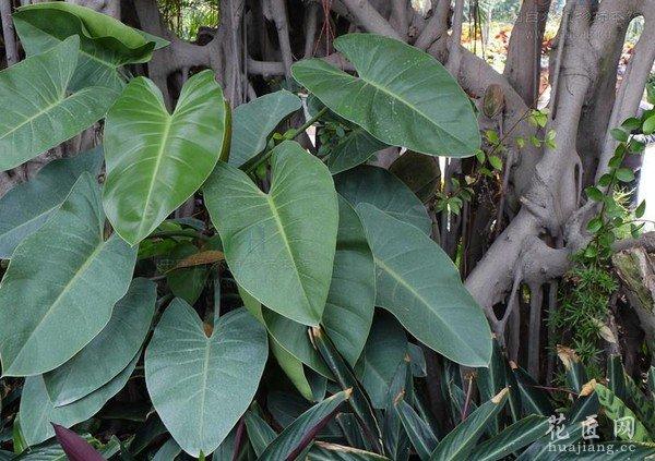 红苞喜林芋图片