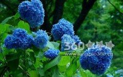 蓝色绣球花的花语