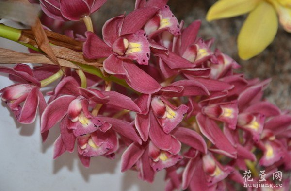 大花蕙兰品种鉴别图片图片