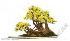 迎春花盆景应怎样养护?
