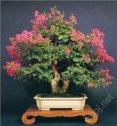 紫薇盆景的养护
