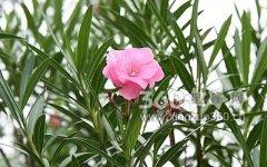 夹竹桃的花语及传说