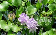 凤眼莲的花语及代表意义是什么?