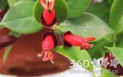 口红吊兰花语是什么?