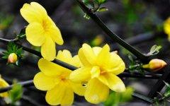迎春花的花语及其故事传说