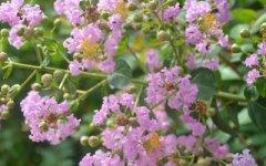 紫薇花的花语