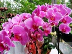 蝴蝶兰的花语是什么