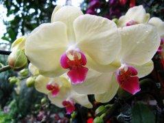 白色蝴蝶兰的花语以及故事传说