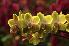 黄色蝴蝶兰的花语是什么