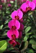 红色蝴蝶兰的花语是什么