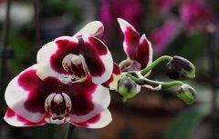 红心蝴蝶兰的花语是什么