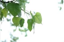 菩提树图片