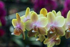 条点蝴蝶兰的花语是什么
