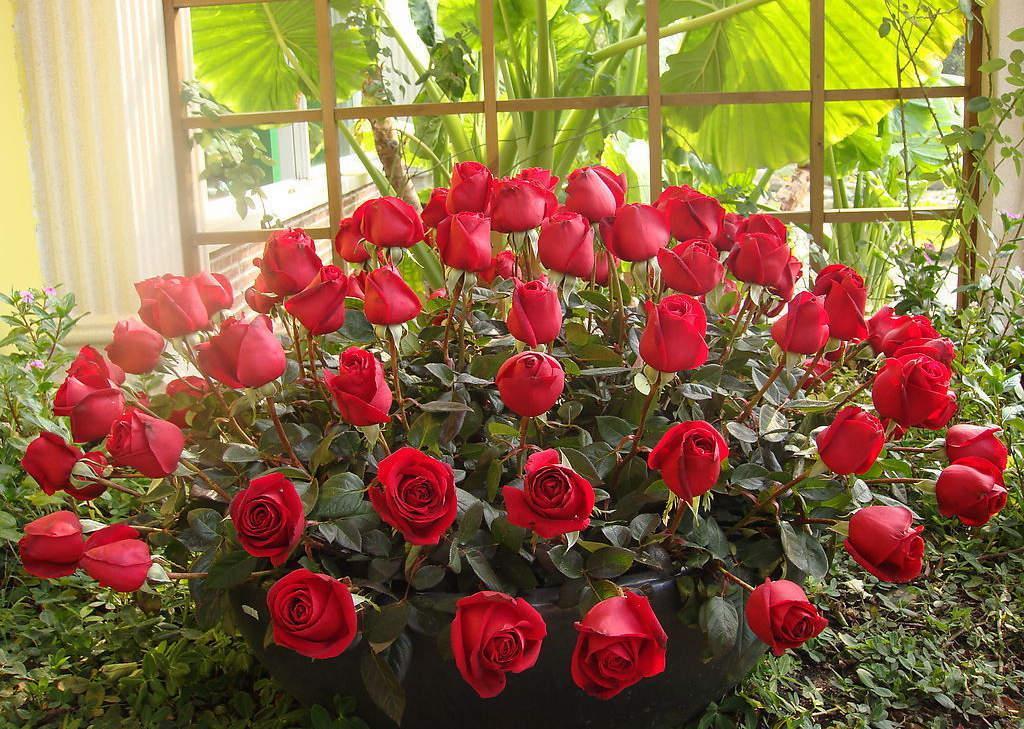 英国的国花是什么花?玫瑰(图)