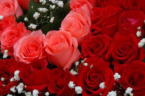玫瑰花不同颜色的含义 代表意思大全(图)