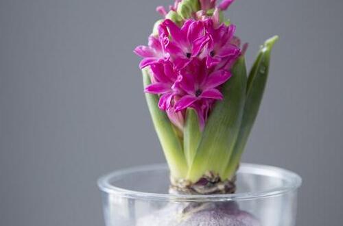 盆栽风信子开花后怎么处理 风信子开花后如何再