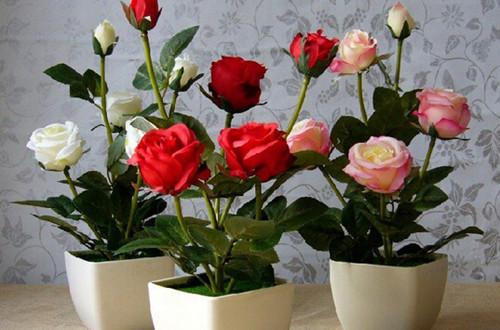 玫瑰花怎么移植 如何移植玫瑰花(图)