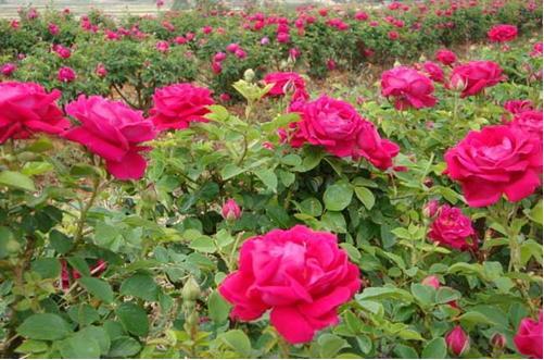 玫瑰花何时摘最佳 摘下的玫瑰花怎么长久保存?(