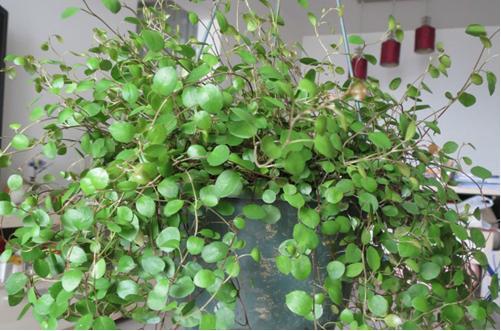 千叶吊兰怎么浇水 千叶吊兰的养殖方法和注意事