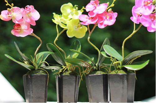 蝴蝶兰开花后怎么养 蝴蝶兰开花后怎么剪枝(图)