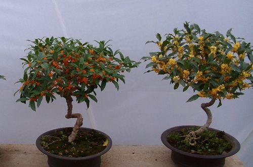 盆栽桂花怎么养 盆栽桂花的养殖方法和注意事项(