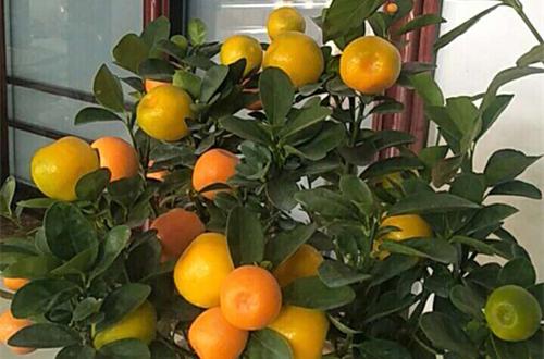 金桔树结太多果子要不要修剪枝条