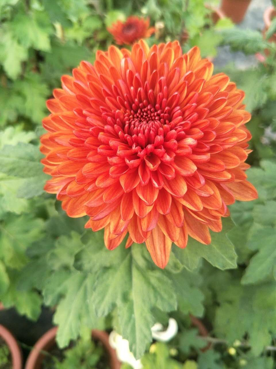开封市盛开花卉园艺有限公司,自有基地,盛产批发菊花,欢迎前来