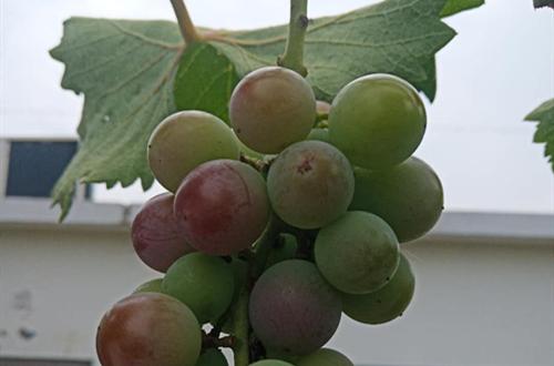 葡萄可以扦插成活吗?葡萄可以水