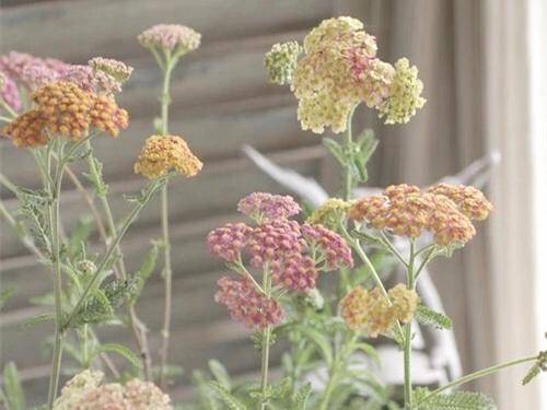 传说中的不死神草蓍草是什么植物