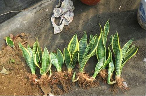 然后从盆的一侧开始种植