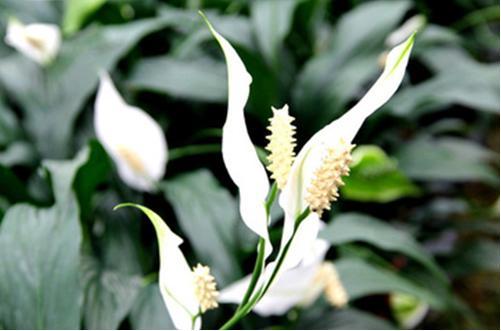 花卉种植一帆风顺怎么养 一帆风顺什么时候开花