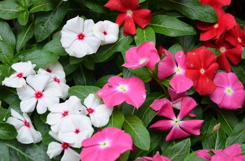 花卉种植长春花可以在室内养吗 有哪些注意事项