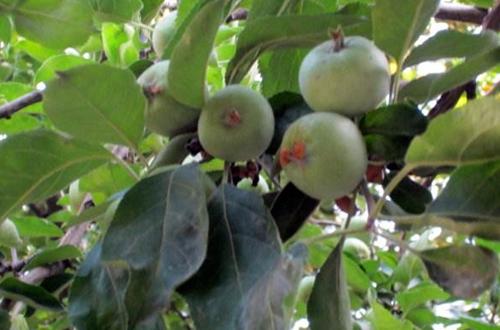 苹果树掉苹果
