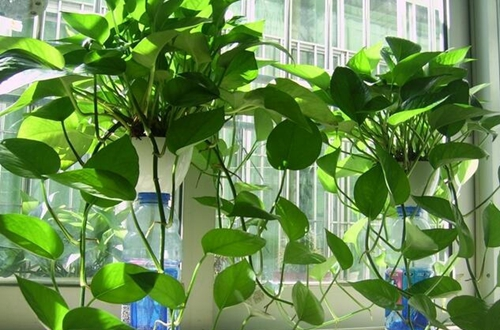 花卉种植冬天绿萝怎么养不会死 怎么浇水(图)